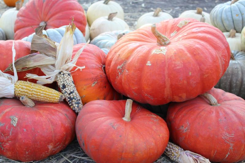 GenniferRose_HarvestPumpkins_HalfMoonBay