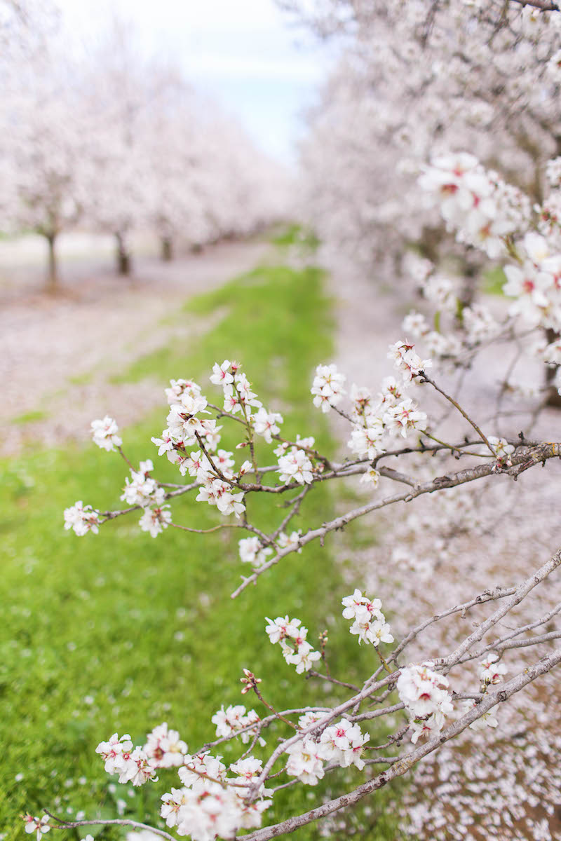 Gennifer Rose_Where to Find the Blooming Almond Orchards in Northern California_6.jpg