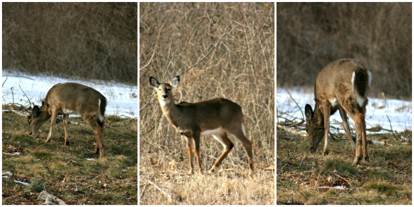 Deer+Collage1.jpg