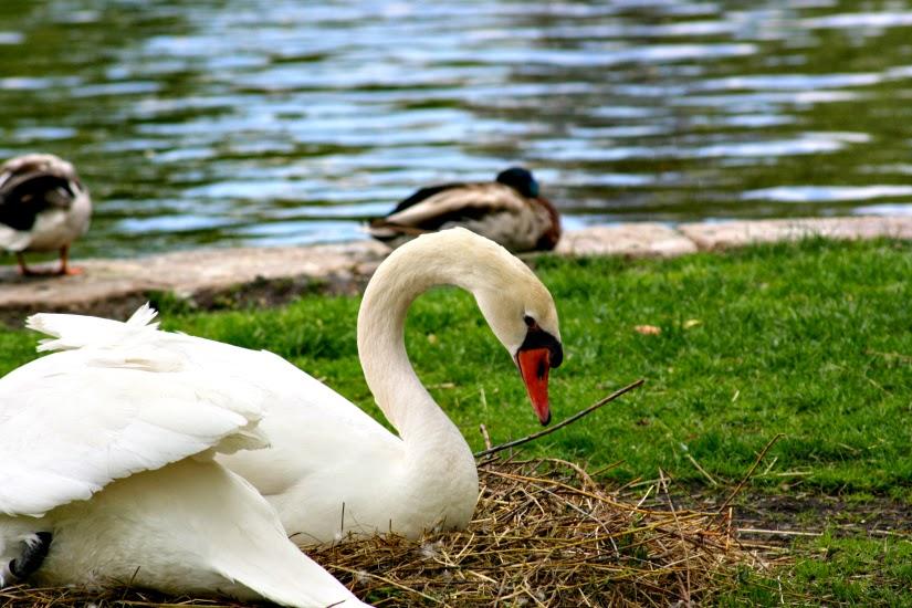 swan4.jpg
