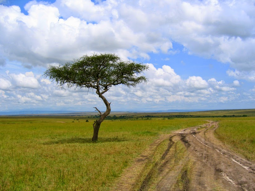 Acacia%2BTree.jpg