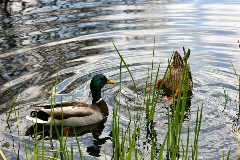 upside+duck1.jpg