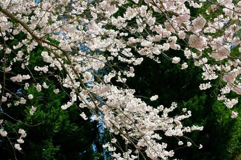 Flowering%2BTree.jpg