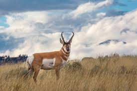 Pronghorn.jpeg
