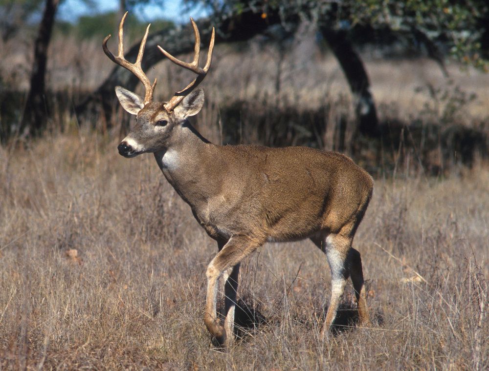 White-tailed_deer.jpg