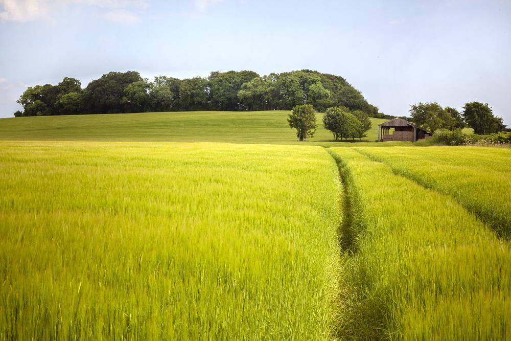 A green Barley field, Glastonbury