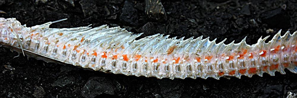 Fish Spine