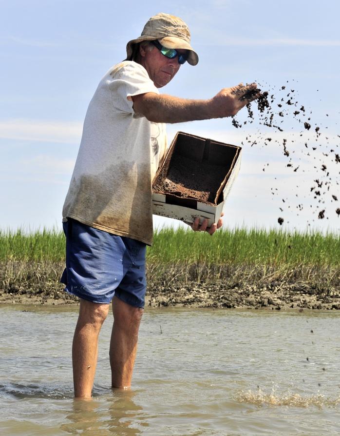 planting Clam seed in Hog Island Bay