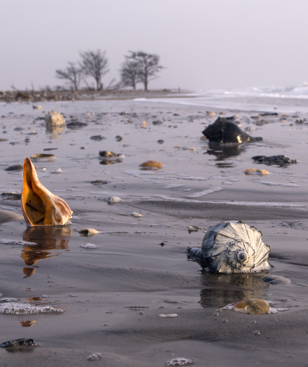 Whelk Shells, Virginia Barrier Island Beach.jpg