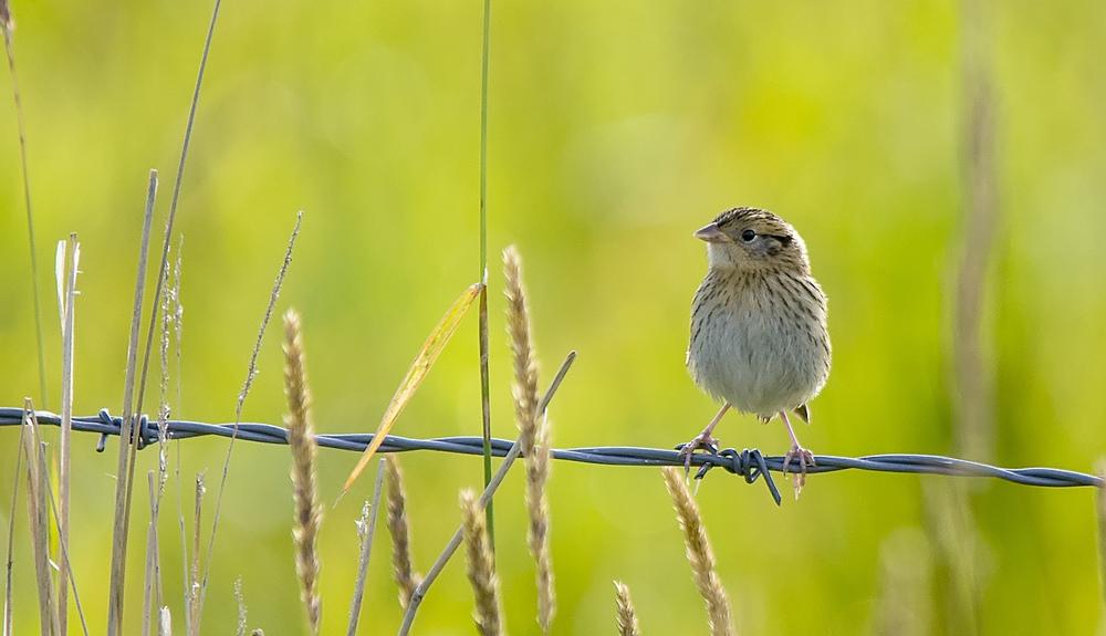 Le Conte's Sparrow, August 2013