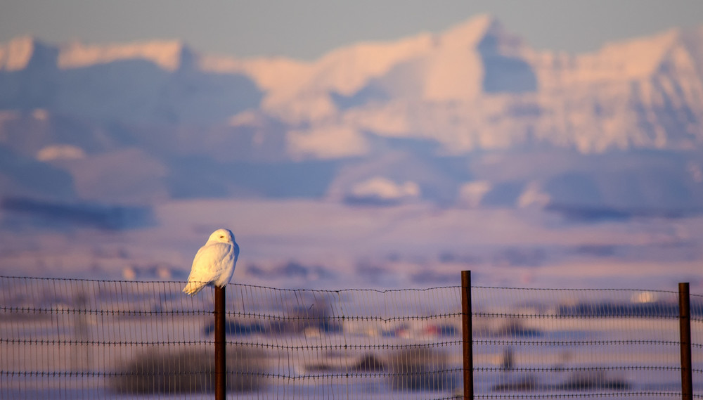 Snowy Owl in front of the Rocky Mountains