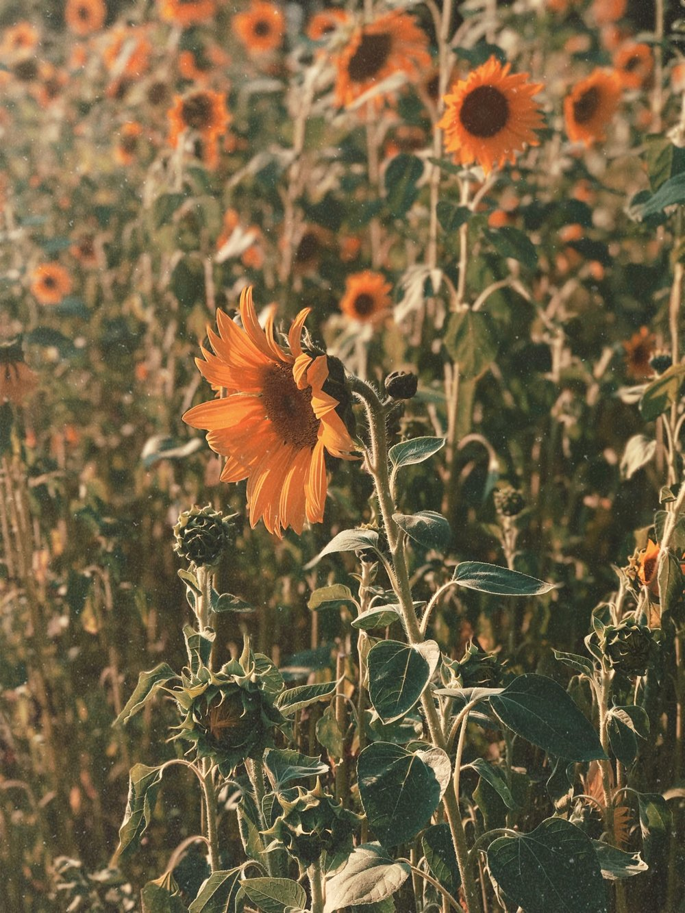 sunflower_field_leipzig.JPG