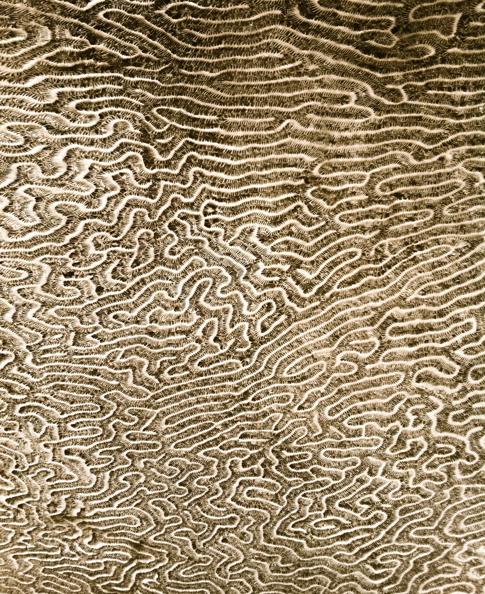 Brain coral, photo: RRC