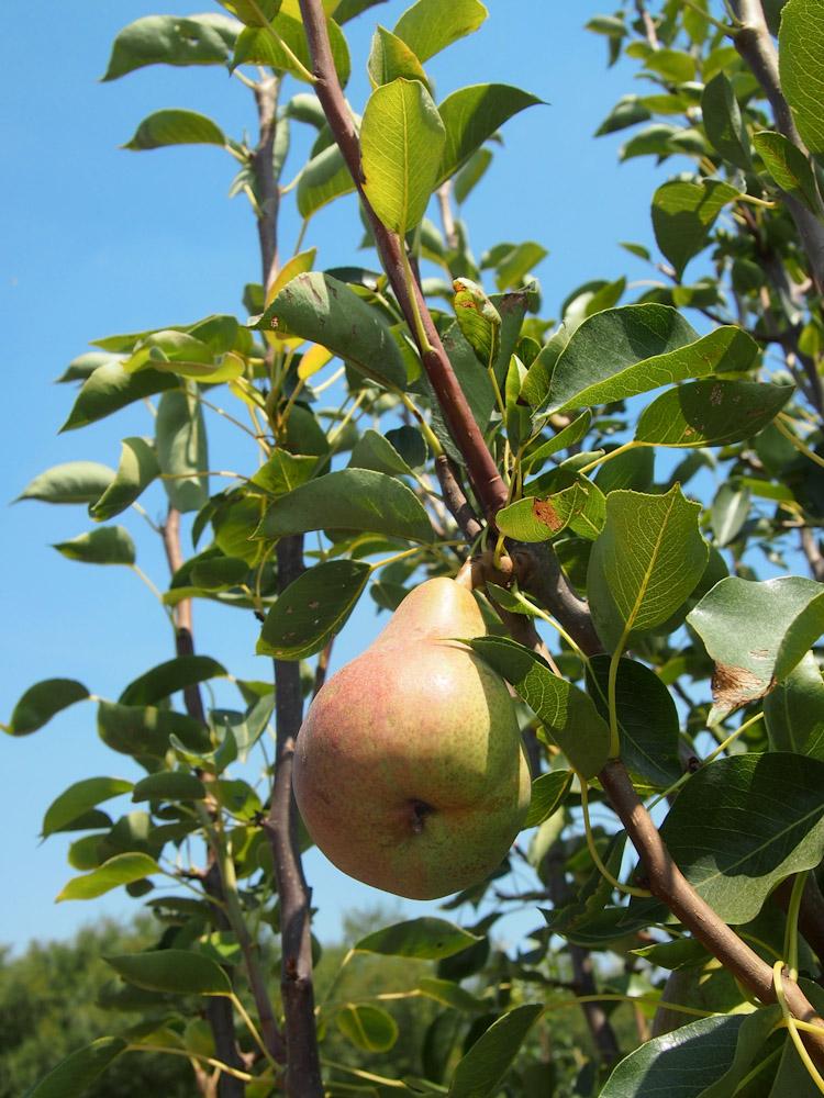 Pear tree at Fifth Crow Farm in Pescadero, California | vermilionroots.com