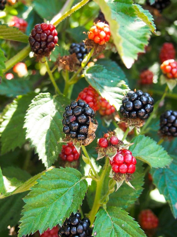 Blackberries at Fifth Crow Farm in Pescadero, California | vermilionroots.com