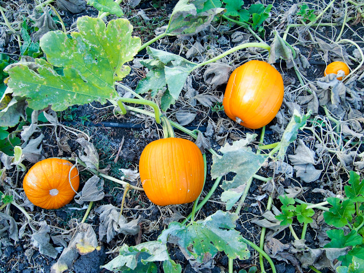 Pumpkin at WWOOF USA One Acre Farm