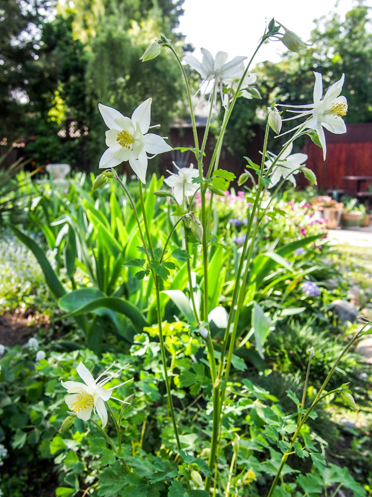 SPRING TIME ON VERMILIONROOTS.COM: Columbines