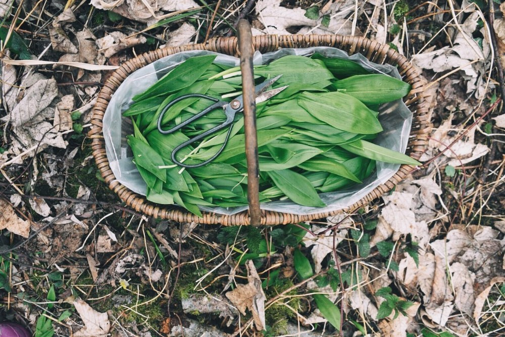 Foraging Ramps in Germany