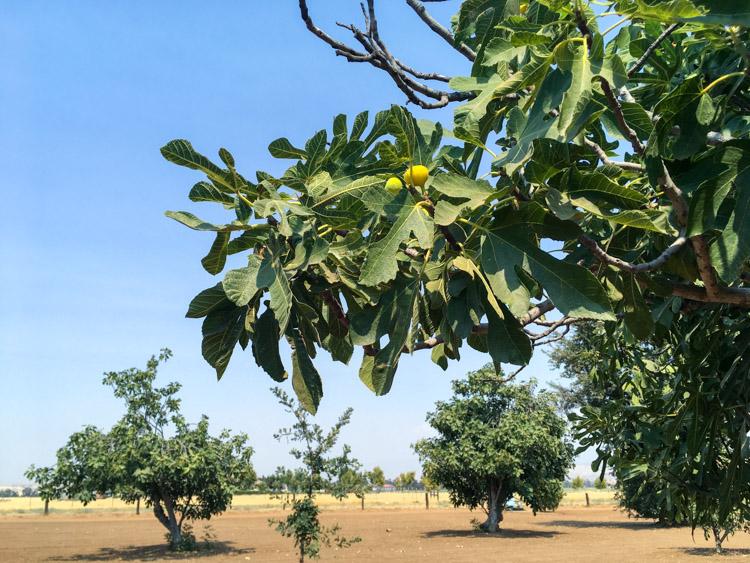 fig-farm.jpg