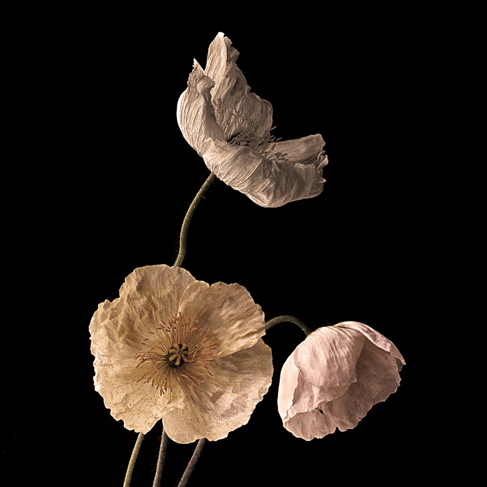 8-Three Poppies #3 14x14.jpg