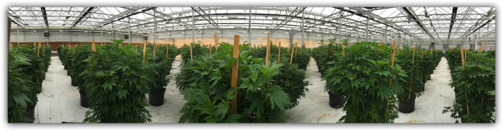 Wide angle of prior marijuana grow in greenhouse 1