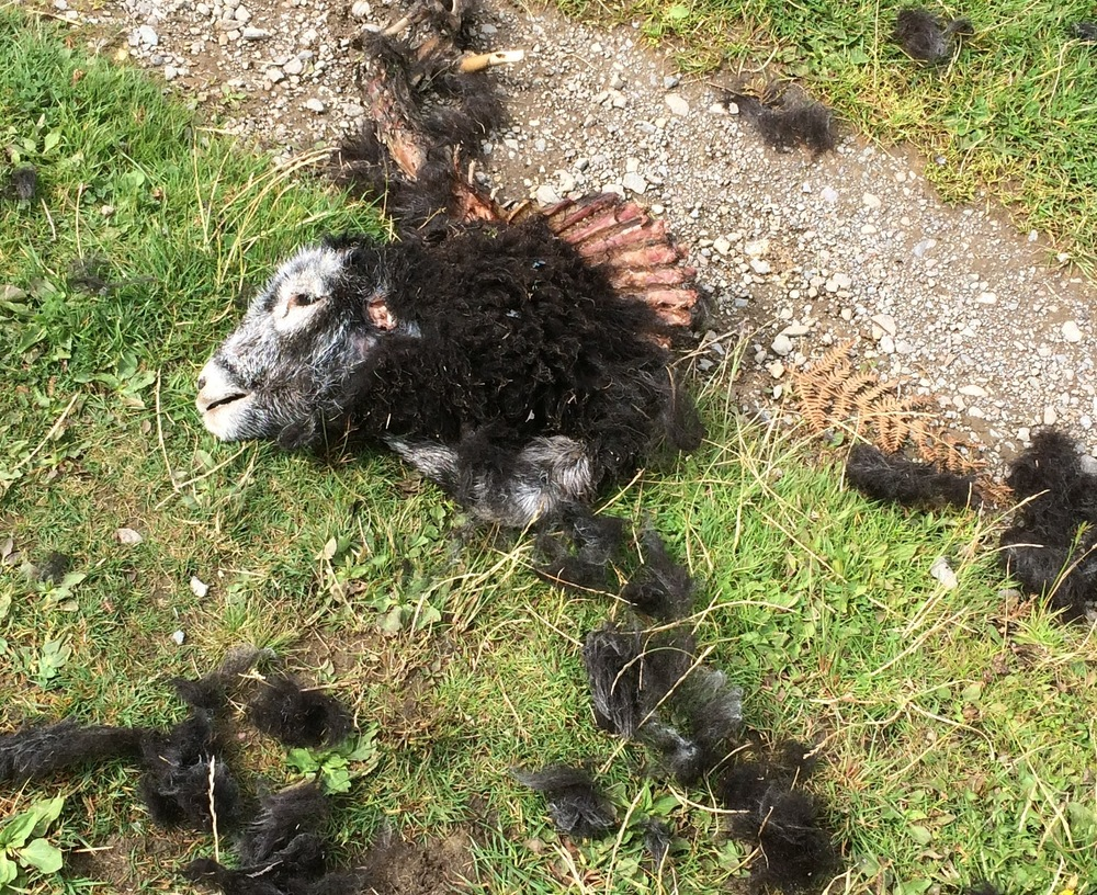 Dismembered sheep by Devoke Water after a dog attack