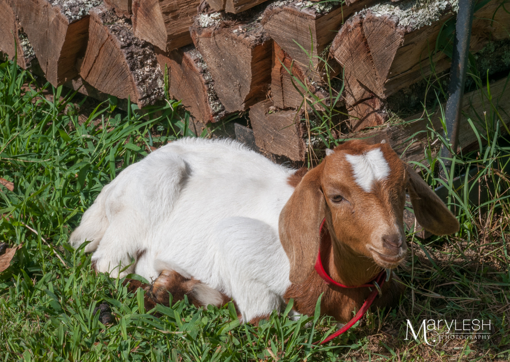 Needless to say, I now want a goat. I see goats in my future.