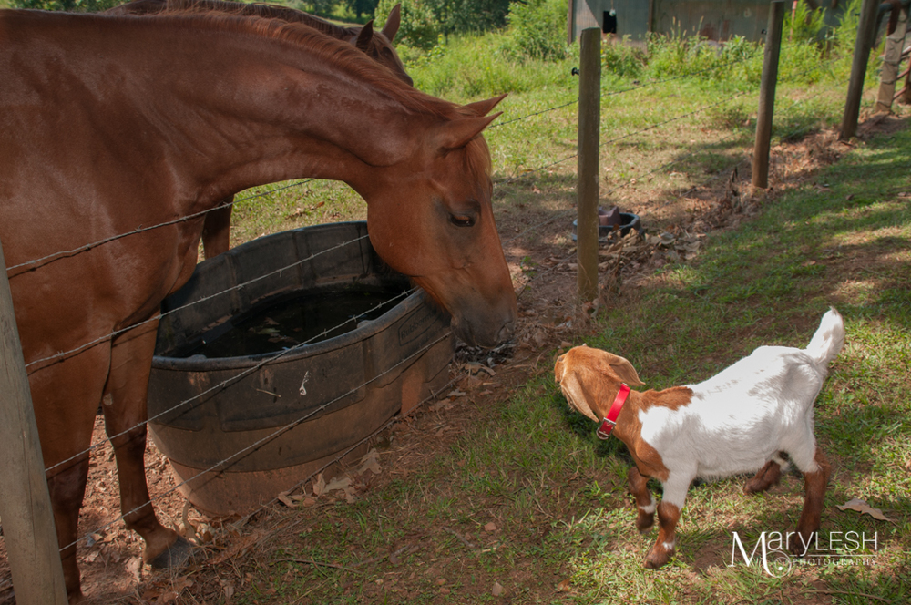 When horse meets goat. This was adorable how the horse kept trying to get closer to check him out.