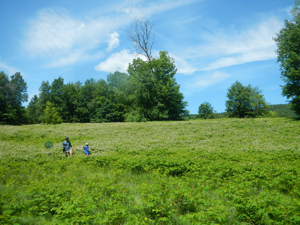 The Conservation Area's open field includes a mix of native grasses, sedges, and herbs.   The flowering herbs are frequented by many species of native pollinators.  When this picture was taken, the small white flowers of spreading dogbane (Apocynum androsaemifolium) were in bloom and being visited by many species of bees and butterflies. (Click Image to enlarge)
