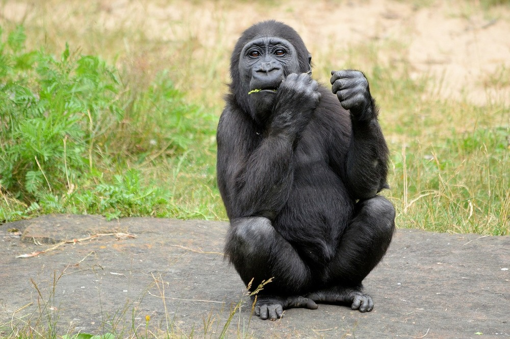 gorilla-315059_1280.jpg