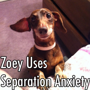 zoey separation anxiety.jpg