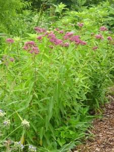 Swamp Milkweed (Source: North Creek Nurseries)