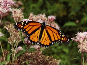 Monarch Butterfly (Source: National Geographic)