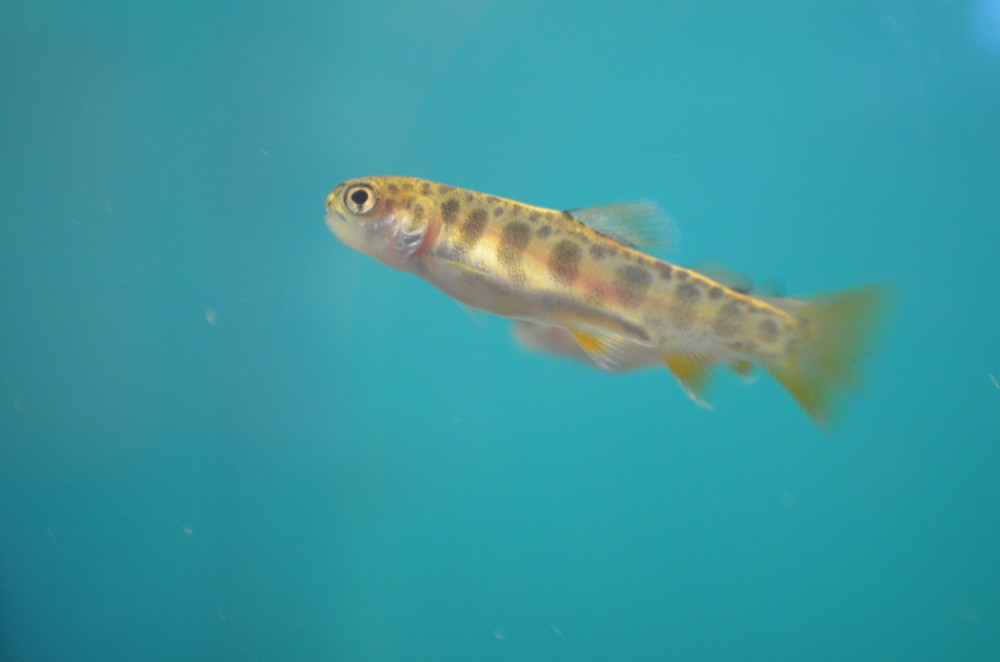 Baby brook trout (c) Stroud Water Research Center