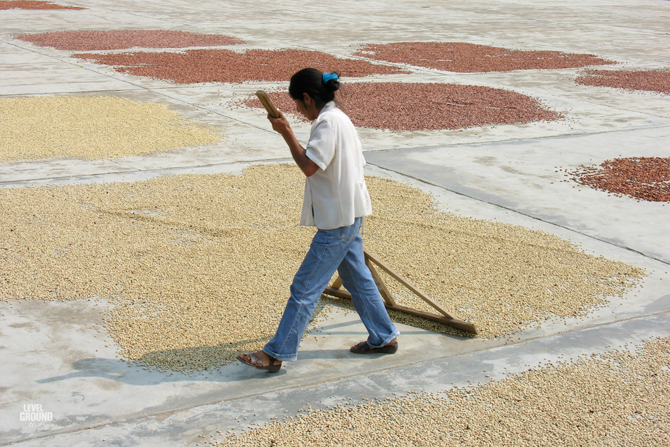 coffee drying in peru