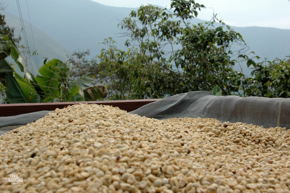 Coffee cherries drying