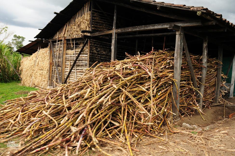 husking sugar cane