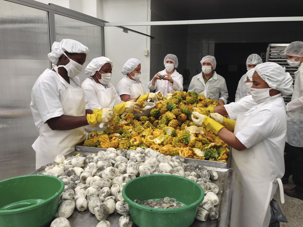 Fruandes workers cutting dragon fruit