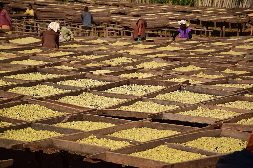 coffee drying in tanzania
