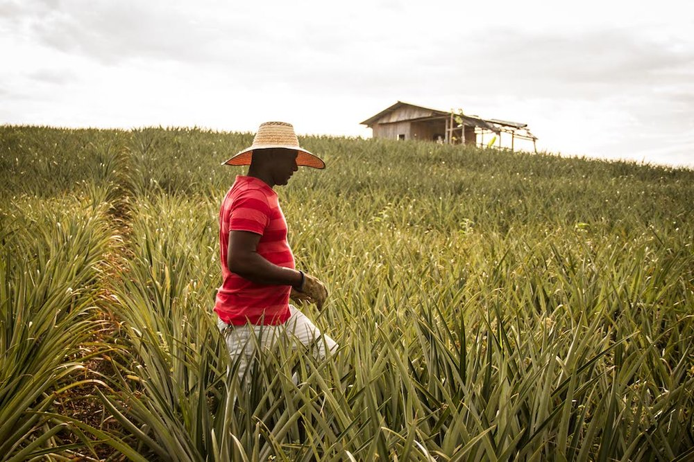 Cesar Balanta in one of the Pineapple farms in Cauca.