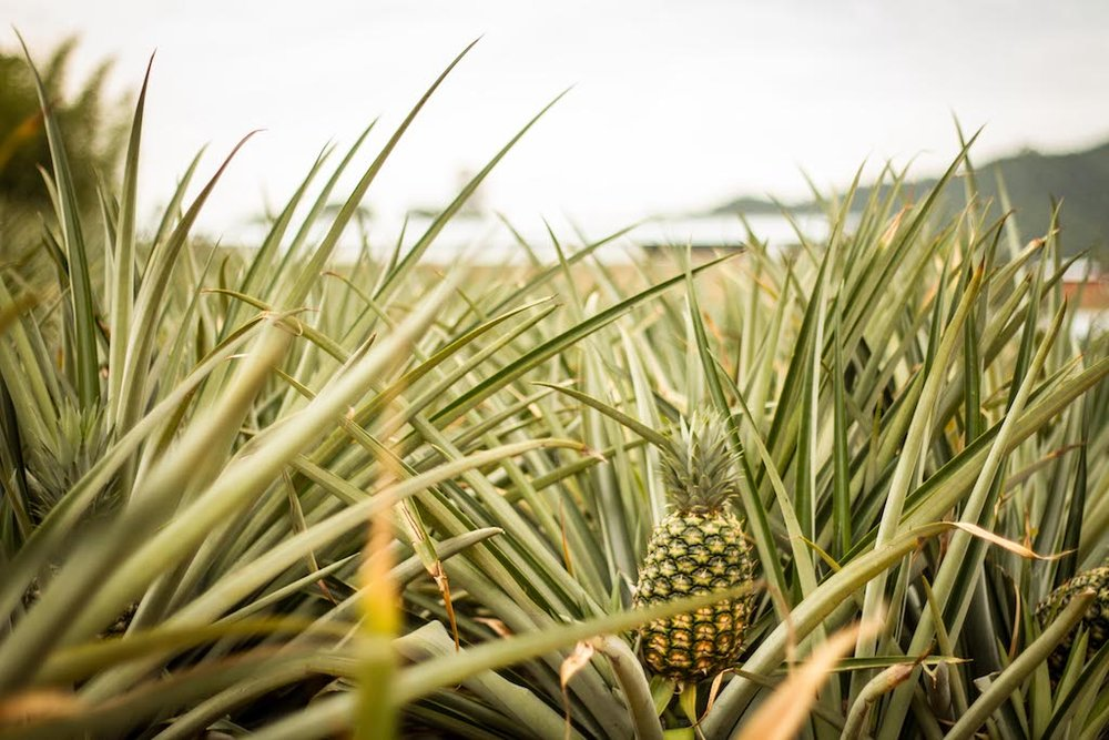 Pineapple growing on a farm in Cauca, Colombia.