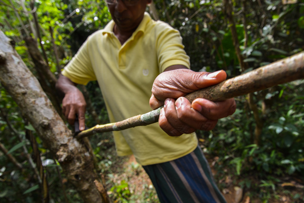 Harvesting Ceylon Cinnamon
