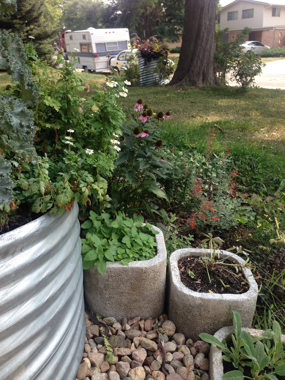 Kale, feverfew, echinacea, mints, lemon balm melissa and white lupine just getting started.