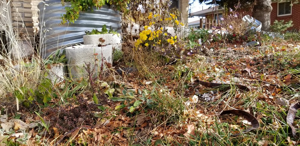 Perennials peaking through the fallen leaves left as home for insects which provide food for birds.