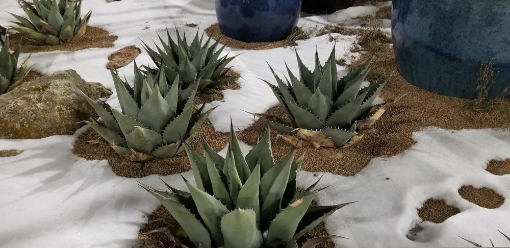 Always beautiful and cold hardy Blue Agave.