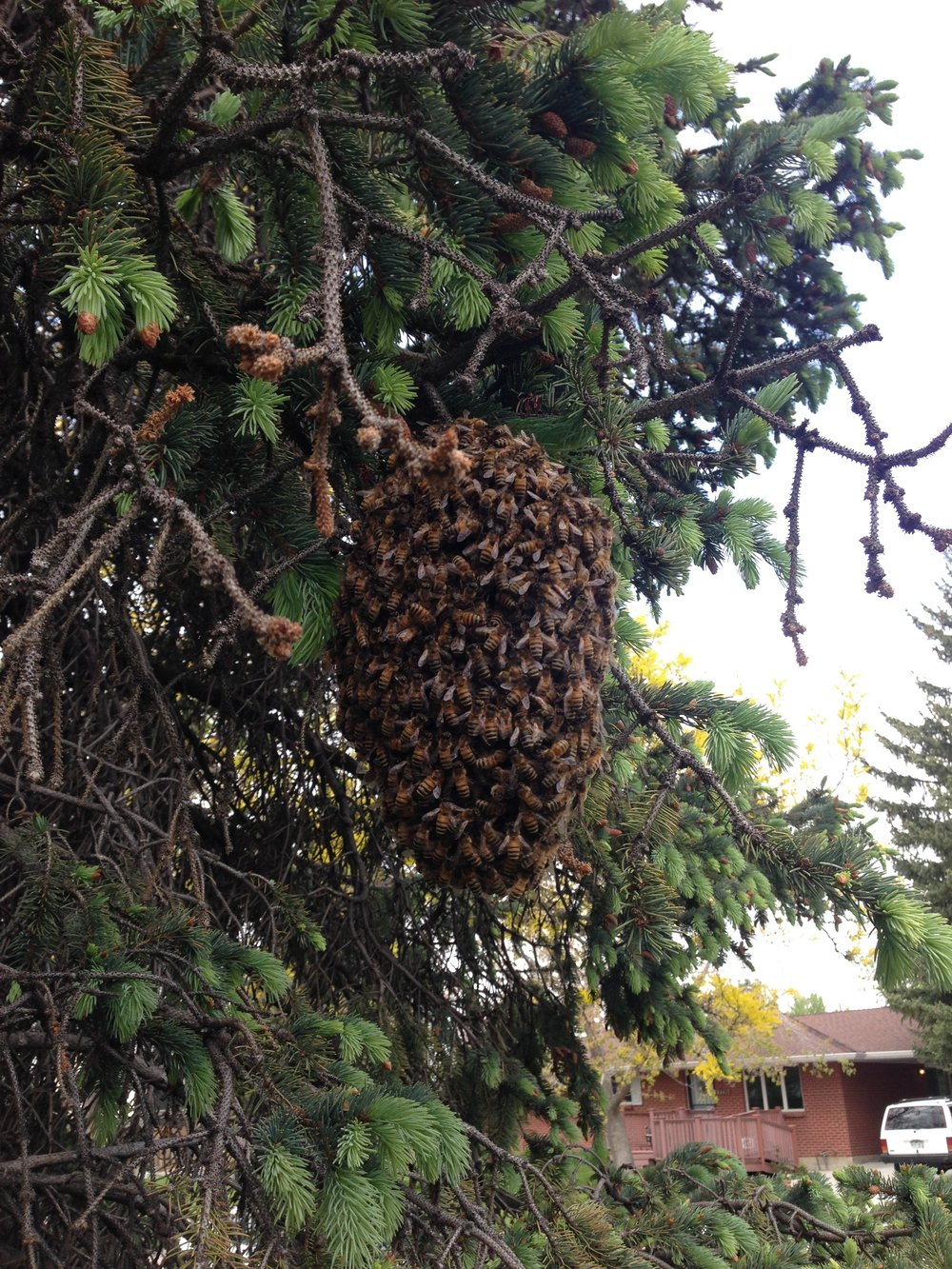 Honey bee swarm looking for a new place to live...free and local...