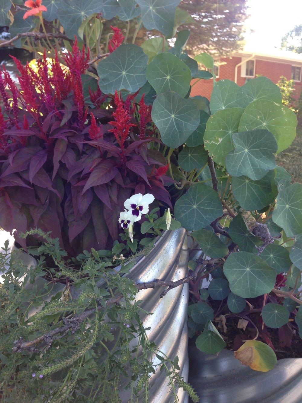 Celosia, nasturtium, and pansies.