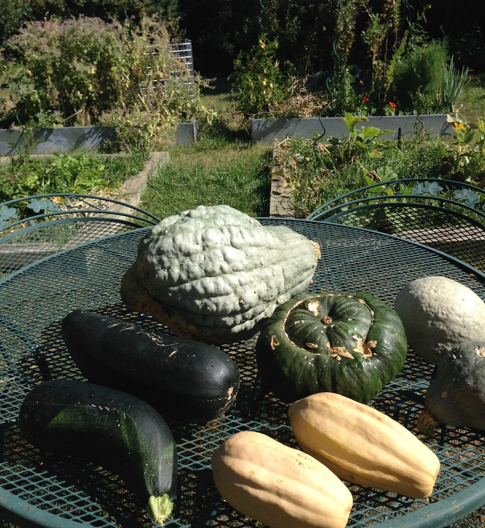 Zucchini, Blue Hubbard, Buttercup, and Fordhook Acorn squashes.