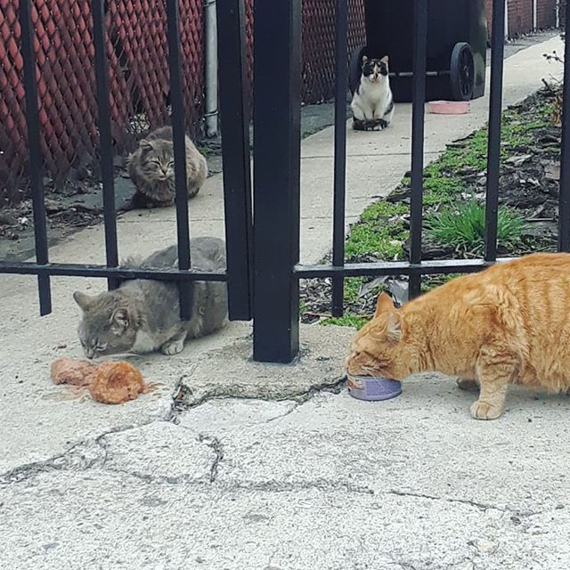 1 kitty, 2 kitty, 3 kitty, 4! Soon my purritos, soon. We have taken 8 friendlies off the site but still have atleast 20 others we need to TNR. Feels never ending here.. 😧 @castleblackpaw @chicagoanimaladvocates #TNR #southside #TNA #trapneuterreturn #chicago #chicagocats #catsofig #cats #catsofchicago #catsofinstagram #calico #feral #feralcat #feedingtime #dmh #tabbycat #purrito #instapurrs #meow #purr #dailyfluff #daily #dailygram #daily #catoftheday #f4f #l4l