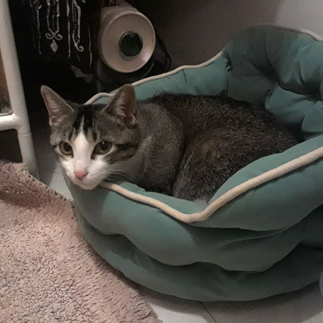 Meet Tacobella! She is our newest pregnant kitty we snagged up from the south side. Clearly she has made herself at home. 😊 we think she will have her babies in a few more weeks! #kittenseason #southside #kittensofinstagram #kittenspace  #pregnant #mommatobe #kittensofig #cats #catsofig #catsofinstagram #catsofchicago #chicagocats #chicago #tacobell #tabby #tabbiesofinstagram #catstagram #l4l #f4f #meow #igdaily #daily #dailyfluff #dailygram #castleblackpaw @castleblackpaw @theseidlehands @tacobell